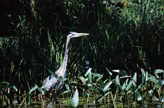 Heron in wetlands