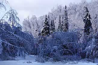 Woodland image during 1998 icestorm